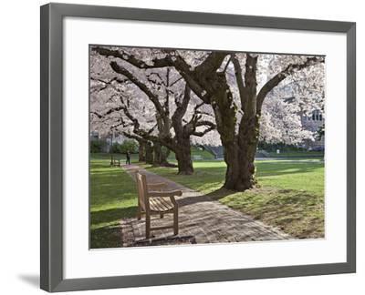 Cherry Trees on University of Washington Campus, Seattle, Washington, USA-Charles Sleicher-Framed Photographic Print