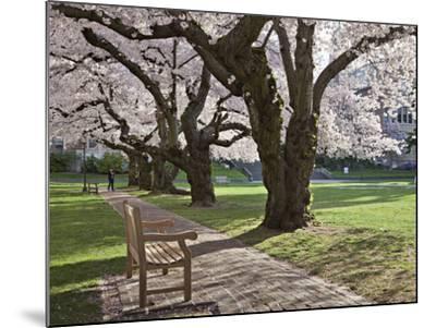 Cherry Trees on University of Washington Campus, Seattle, Washington, USA-Charles Sleicher-Mounted Photographic Print