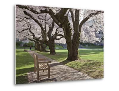 Cherry Trees on University of Washington Campus, Seattle, Washington, USA-Charles Sleicher-Metal Print