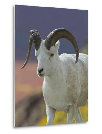 Bighorn Sheep, Alaska, USA-Hugh Rose-Metal Print