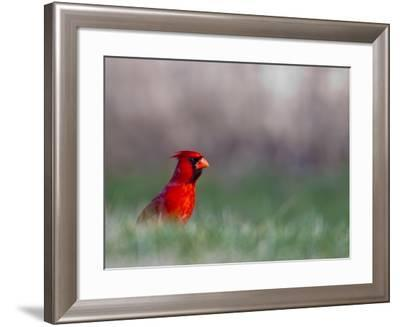 Northern Cardinal in Loup County, Nebraska, USA-Chuck Haney-Framed Photographic Print