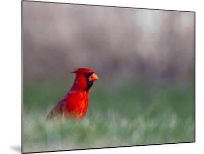Northern Cardinal in Loup County, Nebraska, USA-Chuck Haney-Mounted Photographic Print