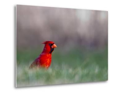 Northern Cardinal in Loup County, Nebraska, USA-Chuck Haney-Metal Print