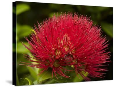 Pohutukawa Flower, Dunedin, South Island, New Zealand-David Wall-Stretched Canvas Print