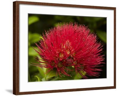Pohutukawa Flower, Dunedin, South Island, New Zealand-David Wall-Framed Photographic Print
