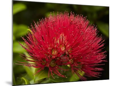 Pohutukawa Flower, Dunedin, South Island, New Zealand-David Wall-Mounted Photographic Print