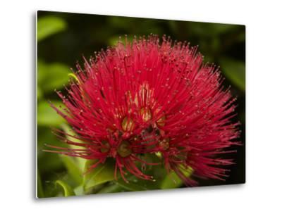 Pohutukawa Flower, Dunedin, South Island, New Zealand-David Wall-Metal Print
