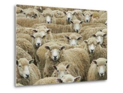 Mob of Sheep, Catlins, South Otago, South Island, New Zealand-David Wall-Metal Print