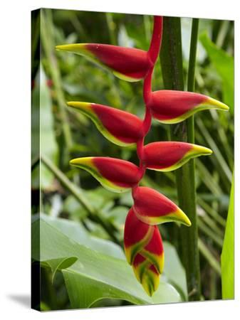 Heliconia Flower, Kula Eco Park, Coral Coast, Viti Levu, Fiji, South Pacific-David Wall-Stretched Canvas Print