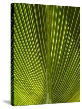 Palm Frond, Nadi, Viti Levu, Fiji, South Pacific-David Wall-Stretched Canvas Print
