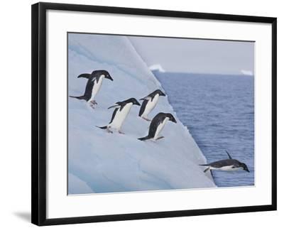 Adelie Penguins, Paulet Island, Antartica, Antarctic-Hugh Rose-Framed Photographic Print