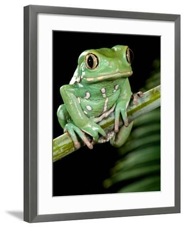 Painted Monkey Frog Phyllomedunited States of America Savaugii Native to Paraguay-David Northcott-Framed Photographic Print