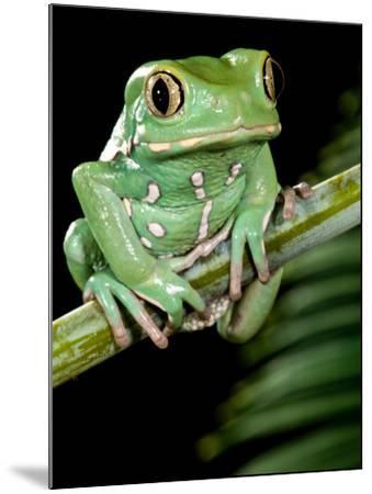 Painted Monkey Frog Phyllomedunited States of America Savaugii Native to Paraguay-David Northcott-Mounted Photographic Print