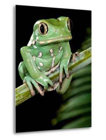 Painted Monkey Frog Phyllomedunited States of America Savaugii Native to Paraguay-David Northcott-Metal Print