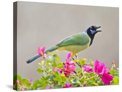 Green Jay Perched in Bougainvillea Flowers, Texas, USA-Larry Ditto-Stretched Canvas Print