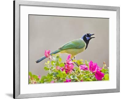 Green Jay Perched in Bougainvillea Flowers, Texas, USA-Larry Ditto-Framed Photographic Print
