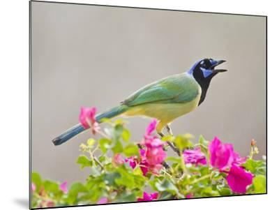 Green Jay Perched in Bougainvillea Flowers, Texas, USA-Larry Ditto-Mounted Photographic Print