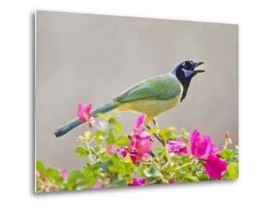 Green Jay Perched in Bougainvillea Flowers, Texas, USA-Larry Ditto-Metal Print