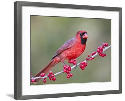 Northen Cardinal Perched on Branch, Texas, USA-Larry Ditto-Framed Photographic Print