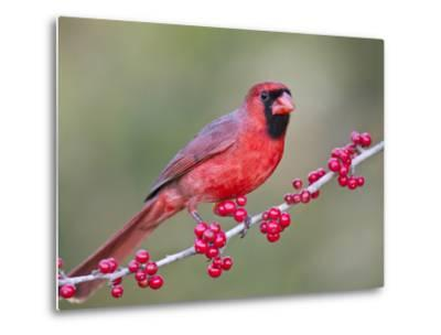 Northen Cardinal Perched on Branch, Texas, USA-Larry Ditto-Metal Print