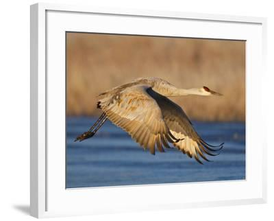 Sandhill Crane in Flight , New Mexico, USA-Larry Ditto-Framed Photographic Print