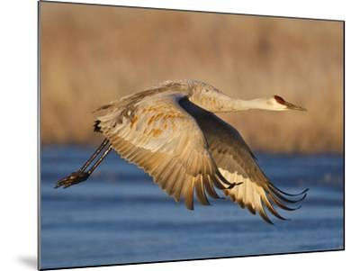 Sandhill Crane in Flight , New Mexico, USA-Larry Ditto-Mounted Photographic Print