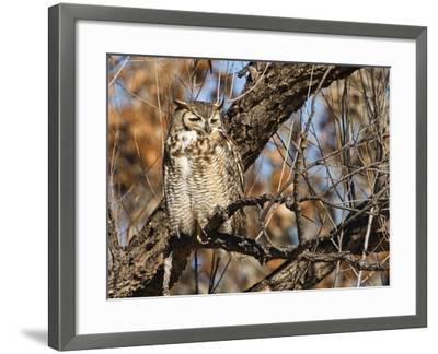 Great Horned Owl (Bubo Virginianus) Sleeping on Perch in Willow Tree, New Mexico, USA-Larry Ditto-Framed Photographic Print