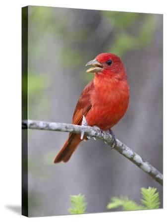 Summer Tanager, Texas, USA-Larry Ditto-Stretched Canvas Print