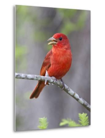 Summer Tanager, Texas, USA-Larry Ditto-Metal Print