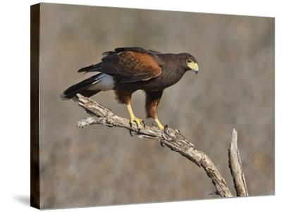 Harris's Hawk, Texas, USA-Larry Ditto-Stretched Canvas Print