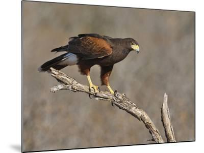 Harris's Hawk, Texas, USA-Larry Ditto-Mounted Photographic Print