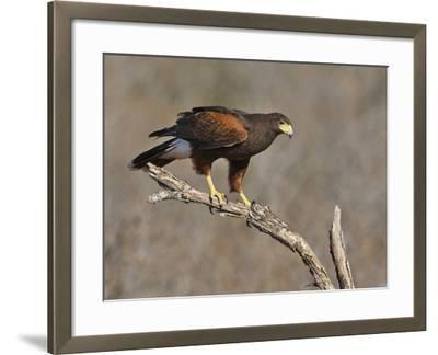 Harris's Hawk, Texas, USA-Larry Ditto-Framed Photographic Print