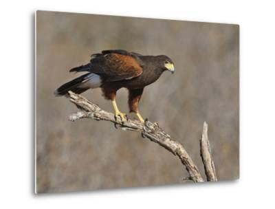 Harris's Hawk, Texas, USA-Larry Ditto-Metal Print