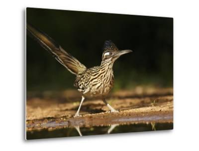 Greater Roadrunner, Texas, USA-Larry Ditto-Metal Print