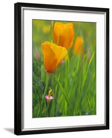 California Poppy Reserve, Lancaster, California, USA-John Alves-Framed Photographic Print