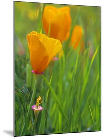 California Poppy Reserve, Lancaster, California, USA-John Alves-Mounted Photographic Print