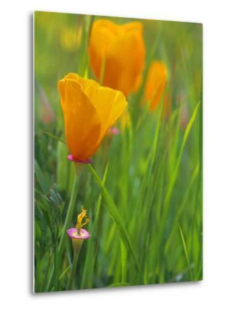 California Poppy Reserve, Lancaster, California, USA-John Alves-Metal Print