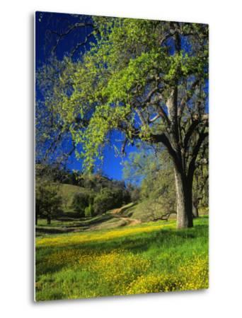 Oaks and Flowers, California, USA-John Alves-Metal Print