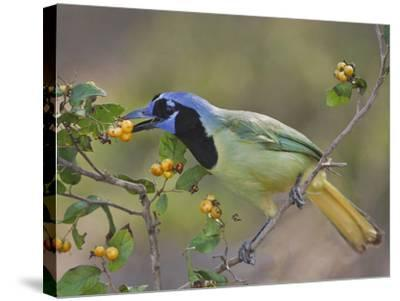 Green Jay, Texas, USA-Larry Ditto-Stretched Canvas Print