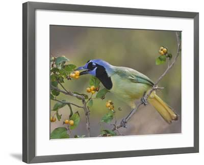 Green Jay, Texas, USA-Larry Ditto-Framed Photographic Print