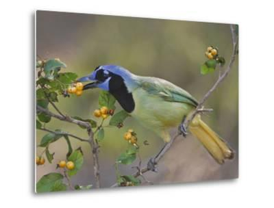 Green Jay, Texas, USA-Larry Ditto-Metal Print