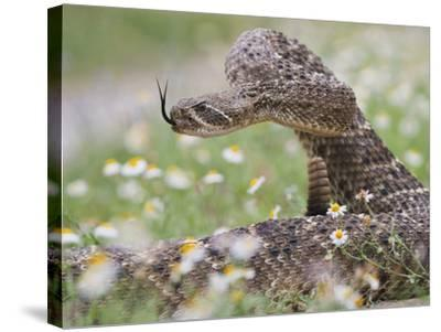 Western Diamondback Rattlesnake, Texas, USA-Larry Ditto-Stretched Canvas Print