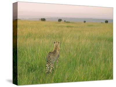 Cheetah (Acinonyx Jubatus) in the Grass, Maasai Mara National Reserve, Kenya-Keren Su-Stretched Canvas Print