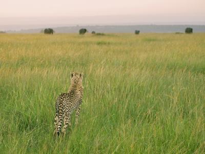 Cheetah (Acinonyx Jubatus) in the Grass, Maasai Mara National Reserve, Kenya-Keren Su-Premium Photographic Print