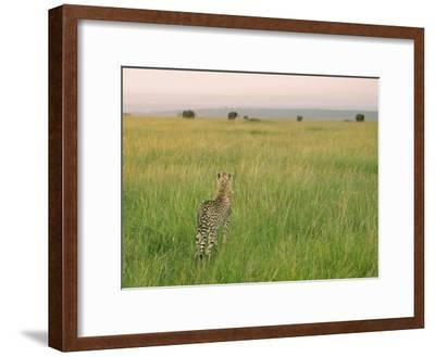 Cheetah (Acinonyx Jubatus) in the Grass, Maasai Mara National Reserve, Kenya-Keren Su-Framed Photographic Print