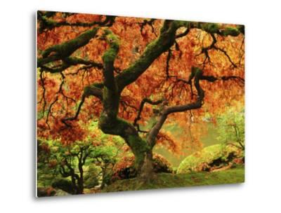 Japanese Maple in Full Fall Color, Portland Japanese Garden, Portland, Oregon, USA-Michel Hersen-Metal Print