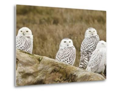Snowy Owl, Boundary Bay, British Columbia, Canada-Rick A^ Brown-Metal Print