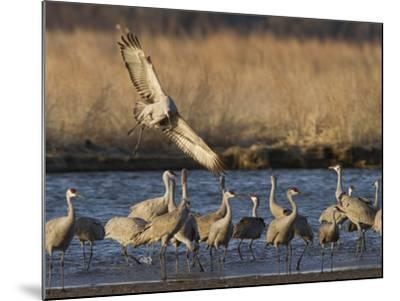 Sandhill Cranes (Grus Canadensis) Flying at Dusk, Platte River, Nebraska, USA-William Sutton-Mounted Photographic Print