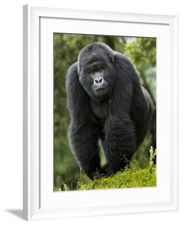 Kwitonda Group of Mountain Gorillas, Volcanoes National Park, Rwanda-Ralph H^ Bendjebar-Framed Photographic Print
