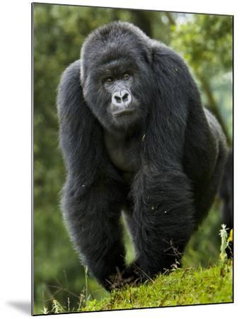 Kwitonda Group of Mountain Gorillas, Volcanoes National Park, Rwanda-Ralph H^ Bendjebar-Mounted Photographic Print